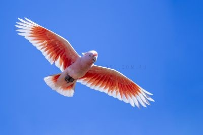Pink Cockatoo - In Flight (Lophochroa leadbeateri mollis).1
