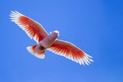 Pink Cockatoo - In Flight (Lophochroa leadbeateri mollis).1