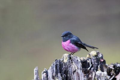 Pink Robin - Male (Petroica rodinogaster).