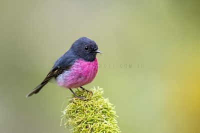 Pink Robin - Male.3