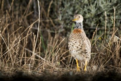 Plains-wanderer - Female (Pedionomus torquatus) 2017.