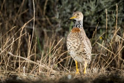 Plains-wanderer - Female (Pedionomus torquatus) 2017