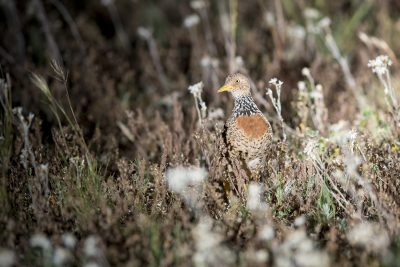 Plains-wanderer - Female (Pedionomus torquatus)