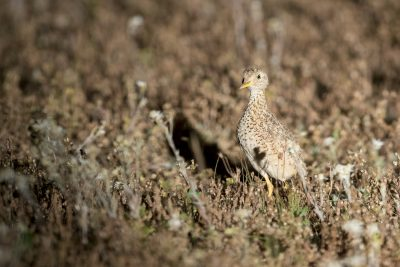Plains-wanderer - Male (Pedionomus torquatus)