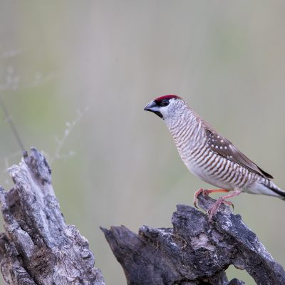 Weaver Finches