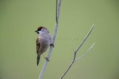 Plum-headed Finch - Male (Neochmia modesta)1