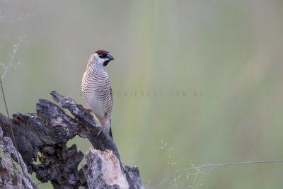 Plum-headed Finch - Male (Neochmia modesta)2