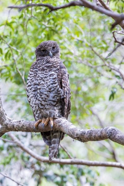 Powerful Owl - Adult.