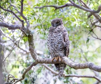 Powerful Owl - Adult