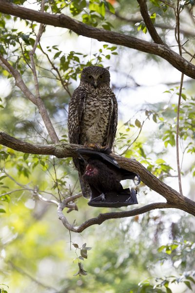 Powerful Owl - Adult (Ninox strenua)