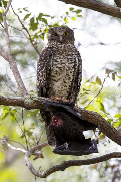 Powerful Owl (Ninox strenua).