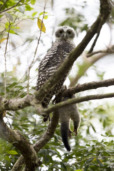 Powerful Owl - With Possum (Ninox strenua)