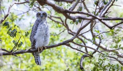 Powerful Owl - Owlet