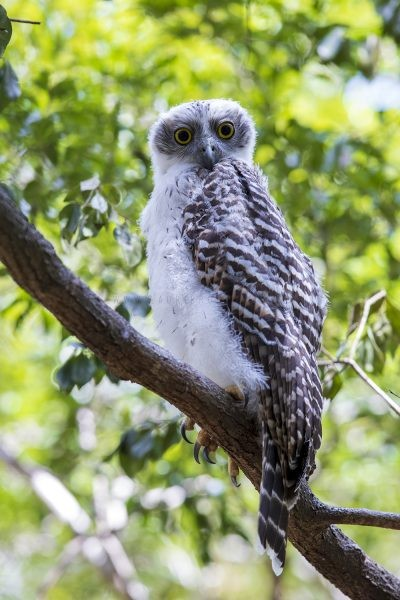 Powerful Owl - Owlet.