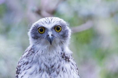 Powerful Owl - Owlet Portrait
