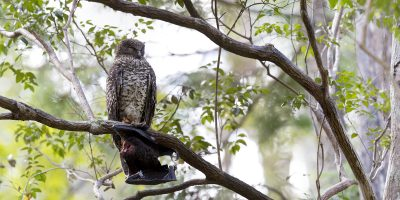 Powerful Owl - Panoramic (Ninox strenua).