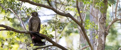 Powerful Owl - Panoramic (Ninox strenua)