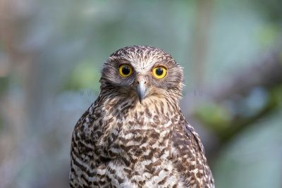 Powerful Owl - Portrait (Ninox strenua).1