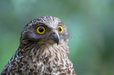 Powerful Owl - Portrait (Ninox strenua).2