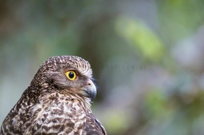 Powerful Owl - Side Profile (Ninox strenua)