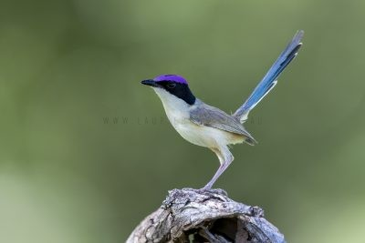 Purple-crowned Fairy-wren - Male