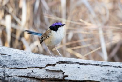 Purple-crowned Fairy-wren - Male on log (Malurus coronatus)