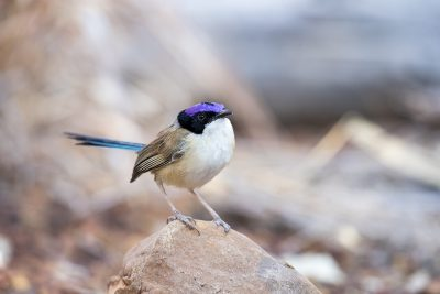 Purple-crowned Fairy-wren - Male on rock (Malurus coronatus)