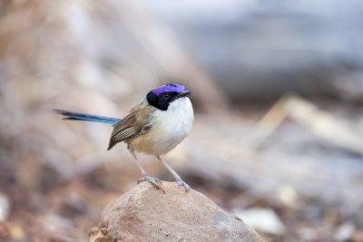 Purple-crowned Fairy-wren - Male on rock (Malurus coronatus)
