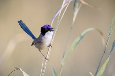 Purple-crowned Fairy-wren (Malurus coronatus)