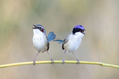 Purple-crowned Fairy-wren - Pair coronatus
