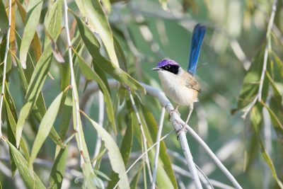 Purple-crowned Fairy-wren (Malurus coronatus coronatus) - Timber Creek, NT