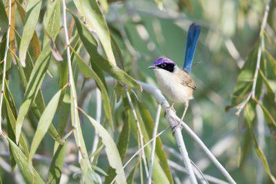 Purple-crowned Fairy-wren (Malurus coronatus coronatus) - Timber Creek, NT