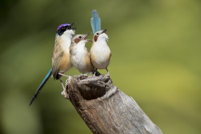 Purple-crowned Fairywren- Family (Malurus coronatus coronatus)
