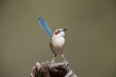 Purple-crowned Fairywren - Female (Malurus coronatus coronatus)2