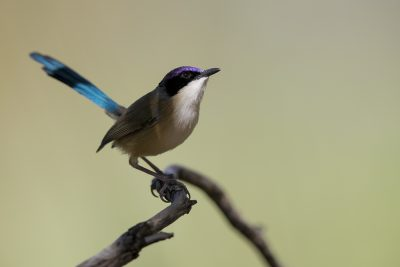 Purple-crowned Fairywren- Male (Malurus coronatus coronatus)