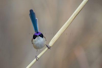 Purple-crowned Fairywren - Male (Malurus coronatus coronatus)