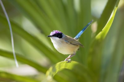 Purple-crowned Fairywren- Male (Malurus coronatus coronatus).