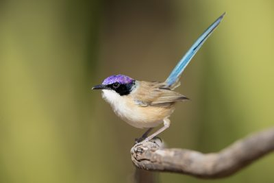 Purple-crowned Fairywren- Male (Malurus coronatus coronatus)1