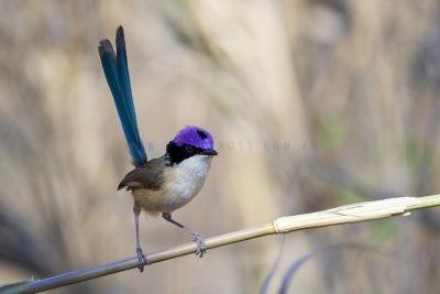 Purple-crowned Fairywren - Male (Malurus coronatus coronatus)3