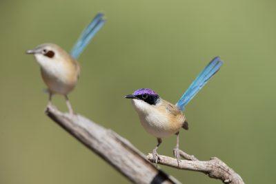 Purple-crowned Fairywren- Pair (Malurus coronatus coronatus)
