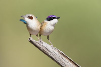 Purple-crowned Fairywren - Pair (Malurus coronatus coronatus)
