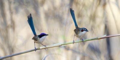 Purple-crowned Fairywren - Pair Pano (Malurus coronatus coronatus)2