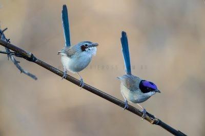 Purple-crowned Fairywren - Pair. (Malurus coronatus coronatus)