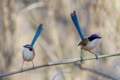 Purple-crowned Fairywren - Pair. (Malurus coronatus coronatus).1