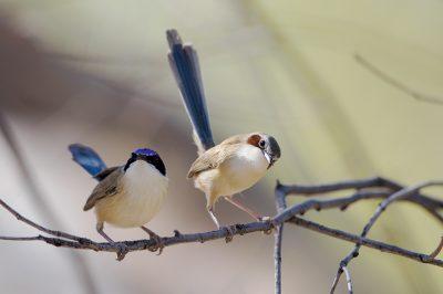 Purple-crowned Fairywren - Pair (Malurus coronatus coronatus)