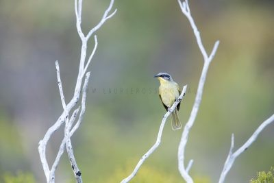 Purple-gaped Honeyeater (Lichenostomus cratitius occidentalis)