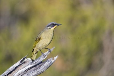 Purple-gaped Honeyeater (Lichenostomus cratitius occidentalis).1