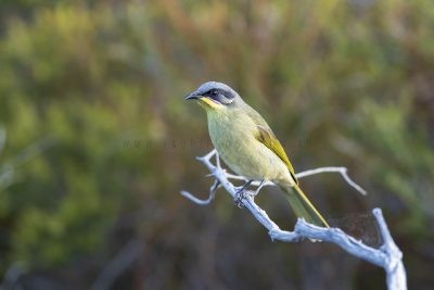Purple-gaped Honeyeater (Lichenostomus cratitius occidentalis).2