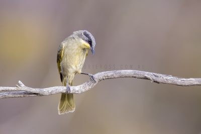 Purple-gaped Honeyeater.1