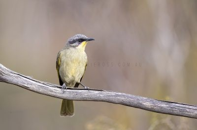 Purple-gaped Honeyeater.2